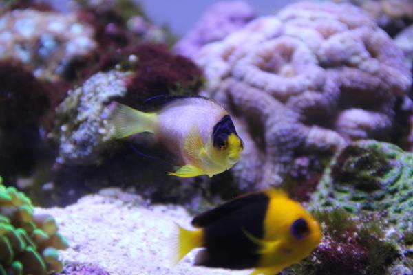 うおっち&ももの海水魚日記-マルチ5