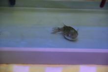 うおっち&ももの海水魚日記-2012-2-7(2)