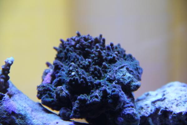 うおっち&ももの海水魚日記-ミドリ