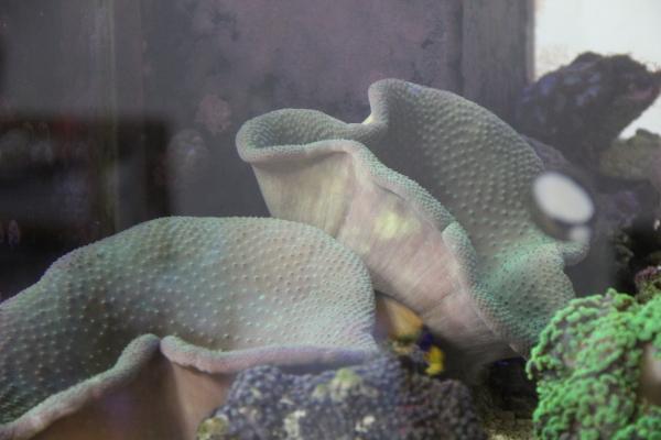 うおっち&ももの海水魚日記-ウミキノコ