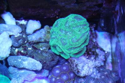 うおっち&ももの海水魚日記-サンゴ2