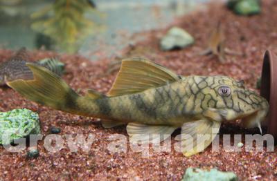 ネットワークタイガープレコ ロライマ産 東海 岐阜 熱帯魚 水草 観葉植物販売 Grow aquarium