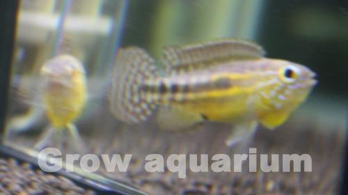 アピストグラマ パウキスクアミス リオアラカ 東海 岐阜 熱帯魚 水草 観葉植物販売 Grow aquarium