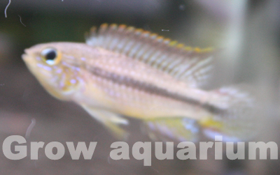 アピストグラマ アガシジィ アノリ 東海 岐阜 熱帯魚 水草 観葉植物販売 Grow aquarium