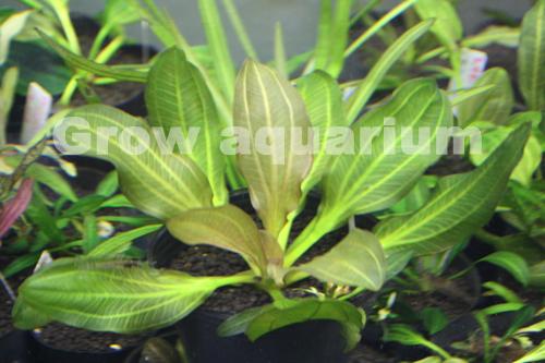 エキノドルス アパート 東海 岐阜 熱帯魚 水草 観葉植物販売 Grow aquarium