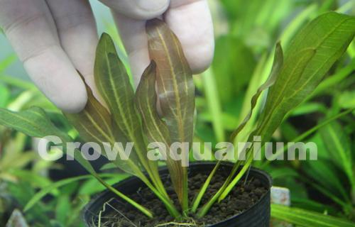 エキノドルス ダークグリーンホレマニー 東海 岐阜 熱帯魚 水草 観葉植物販売 Grow aquarium