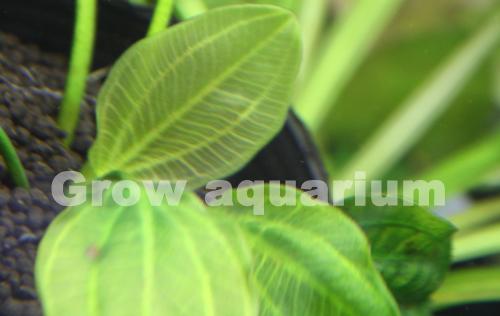 エキノドルスsp.サターン 95 東海 岐阜 熱帯魚 水草 観葉植物販売 Grow aquarium