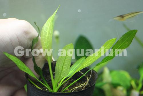 エキノドルス ホレマニグリーン ブロードリーフ98 東海 岐阜 熱帯魚 水草 観葉植物販売 Grow aquarium