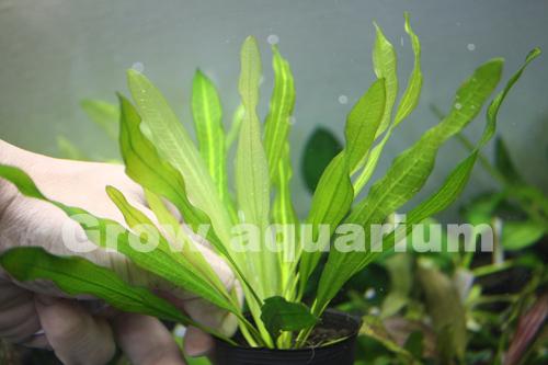 エキノドルス ウルグアイエンシス Rataj 東海 岐阜 熱帯魚 水草 観葉植物販売 Grow aquarium