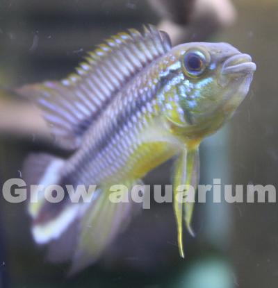 アピストグラマ アガシジィ ブルーファントム マニコレ 東海 岐阜 熱帯魚 水草 観葉植物販売 Grow aquarium