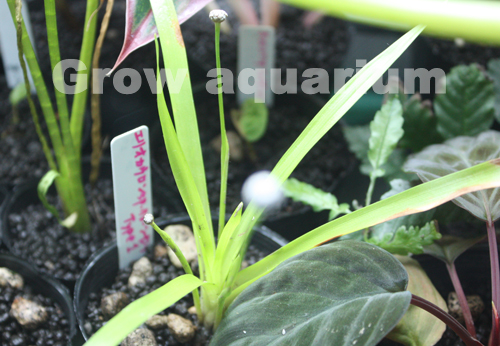 エリオカウロンsp.クローンヤイタイプTypeⅠ 東海 岐阜 熱帯魚 水草 観葉植物販売 Grow aquarium