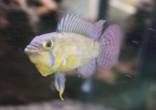 アピストグラマ カカトゥオイデス ミリ 東海 岐阜 熱帯魚 水草 観葉植物販売 Grow aquarium