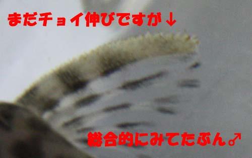 ニューインペダップルたぶん♂ 東海 岐阜 熱帯魚 水草 観葉植物販売 Grow aquarium