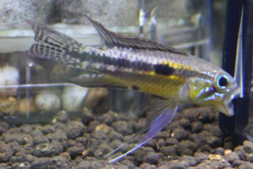 アピストグラマ パウキスクアミス プシリトゥーバ 東海 岐阜 熱帯魚 水草 観葉植物販売 Grow aquarium