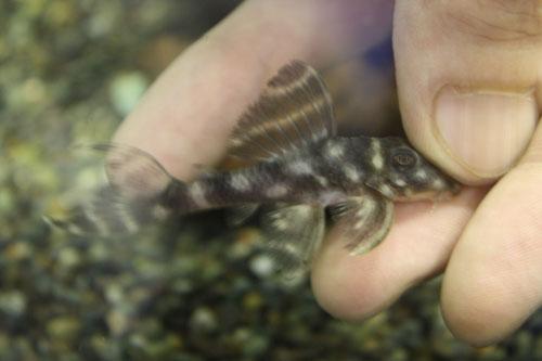 ダークエビル ウルアカ産 東海 岐阜 熱帯魚 水草 観葉植物販売 Grow aquarium