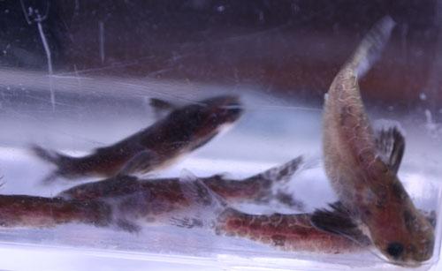 レオパードタティア 東海 岐阜 熱帯魚 水草 観葉植物販売 Grow aquarium