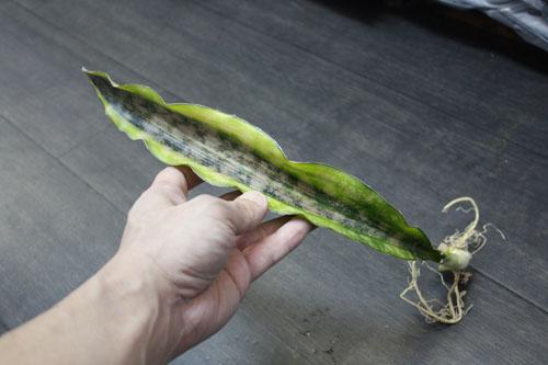 サンスベリア キルキープルクラコパトーン バリエガータ 東海 岐阜 熱帯魚 水草 観葉植物販売 Grow aquarium