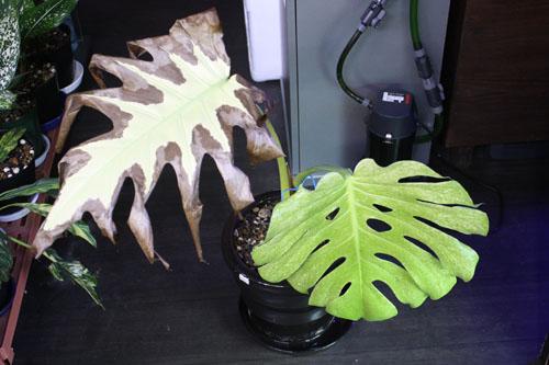 モンステラ デリシオサ ホワイトモンスター 東海 岐阜 熱帯魚 水草 観葉植物販売 Grow aquarium