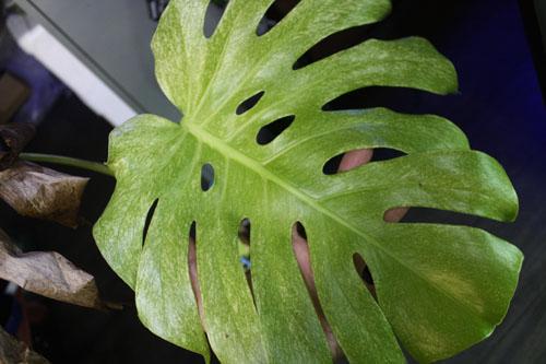 モンステラ デリシオサ 東海 岐阜 熱帯魚 水草 観葉植物販売 Grow aquarium