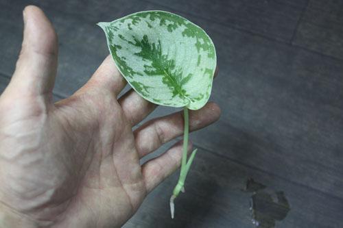 スキンダプサスsp. 東海 岐阜 熱帯魚 水草 観葉植物販売 Grow aquarium