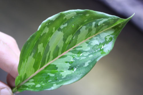 Aglaonema bicolor 東海 岐阜 熱帯魚 水草 観葉植物販売 Grow aquarium