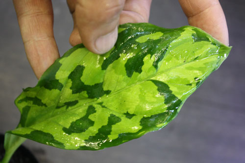 Aglaonema pictum 緑三色D.F.S 東海 岐阜 熱帯魚 水草 観葉植物販売 Grow aquarium