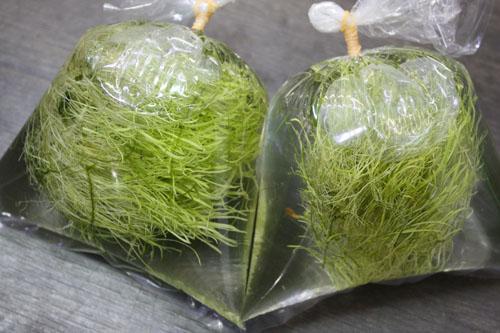 ウォーターローン 東海 岐阜 熱帯魚 水草 観葉植物販売 Grow aquarium