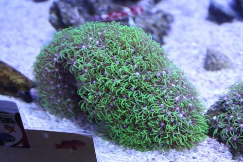 スターポリプ グリーン 岩付 東海 岐阜 熱帯魚 水草 観葉植物販売 Grow aquarium
