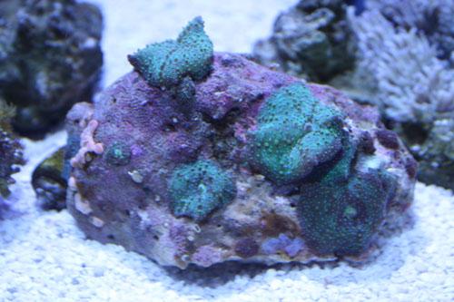 ディスクコーラル グリーン 花多め 東海 岐阜 熱帯魚 水草 観葉植物販売 Grow aquarium
