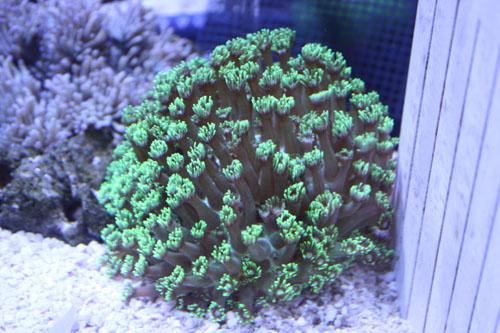 ハナガササンゴ グリーンロング 東海 岐阜 熱帯魚 水草 観葉植物販売 Grow aquarium