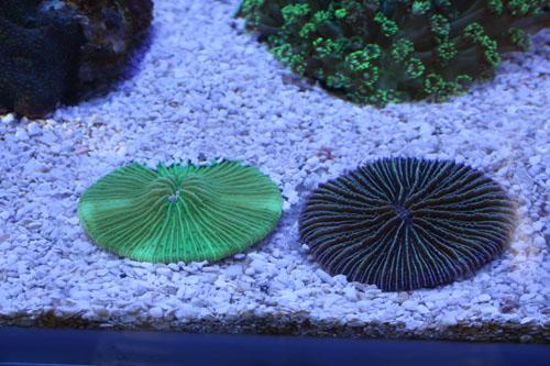 シタザラクサビライシ 東海 岐阜 熱帯魚 水草 観葉植物販売 Grow aquarium