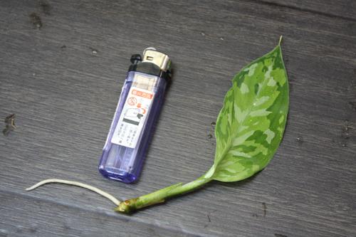 アグラオネマ ピクタム トリカラー子株 東海 岐阜 熱帯魚 水草 観葉植物販売 Grow aquarium