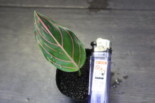 アグラオネマ ロタンダム タイガー 東海 岐阜 熱帯魚 水草 観葉植物販売 Grow aquarium