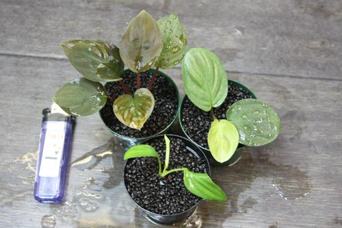 ホマロメナ3種セット東海 岐阜 熱帯魚 水草 観葉植物販売 Grow aquarium