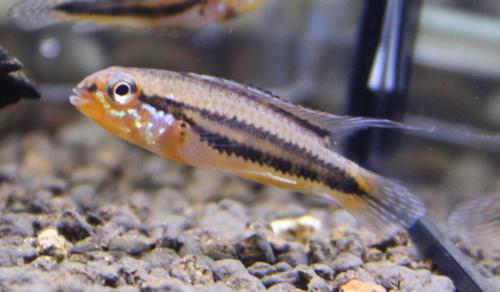 アピストグラマ ディプロタエニア 東海 岐阜 熱帯魚 水草 観葉植物販売 Grow aquarium