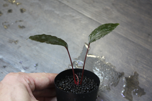 ホメロメナsp.スラウェシレッド 東海 岐阜 熱帯魚 水草 観葉植物販売 Grow aquarium