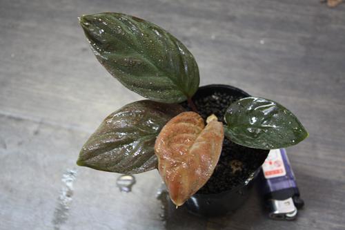 ホマロメナsp.マウントベサール東海 岐阜 熱帯魚 水草 観葉植物販売 Grow aquarium