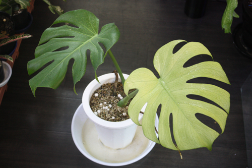 Monstera deliciosa White Monster 東海 岐阜 熱帯魚 水草 観葉植物販売 Grow aquarium