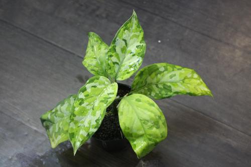 Aglaonema Pictum tricolor 東海 岐阜 熱帯魚 水草 観葉植物販売 Grow aquarium