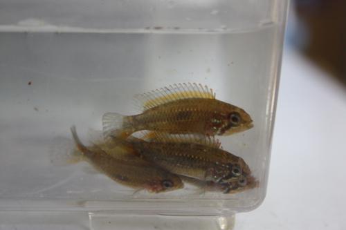 アピストグラマ メンデジィ 東海 岐阜 熱帯魚 水草 観葉植物販売 Grow aquarium