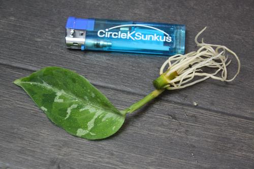アグラオネマ ピクタム トリカラー 東海 岐阜 熱帯魚 水草 観葉植物販売 Grow aquarium