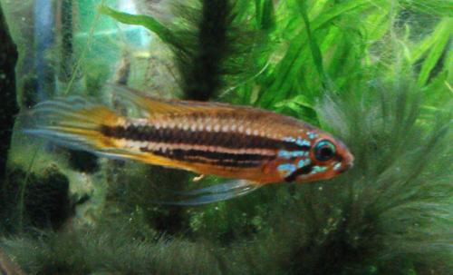 メンデジィ サンタイザベル 東海 岐阜 熱帯魚 水草 観葉植物販売 Grow aquarium