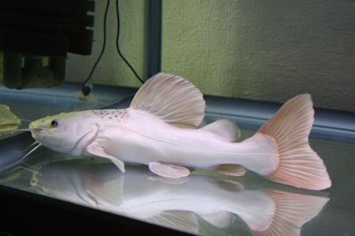 プラチナ レッドテールキャット東海 岐阜 熱帯魚 水草 観葉植物販売 Grow aquarium