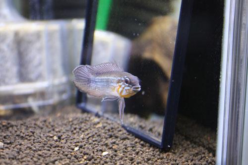 アピストグラマ エリザベサエ トゥッカーノ 東海 岐阜 熱帯魚 水草 観葉植物販売 Grow aquarium
