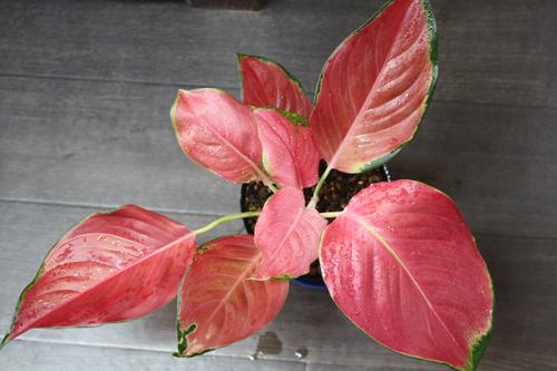 アグラオネマ コーチン シリマニー 東海 岐阜 熱帯魚 水草 観葉植物販売 Grow aquarium