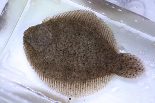 淡水カレイ アラグアイ産 東海 岐阜 熱帯魚 水草 観葉植物販売 Grow aquarium
