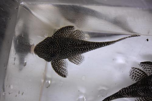 クイーンアラベスクタイガー 東海 岐阜 熱帯魚 水草 観葉植物販売 Grow aquarium