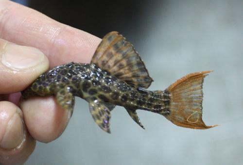 オレンジフィンレオパードトリムプレコ 東海 岐阜 熱帯魚 水草 観葉植物販売 Grow aquarium
