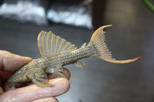 スカーレットトリムプレコ 東海 岐阜 熱帯魚 水草 観葉植物販売 Grow aquarium