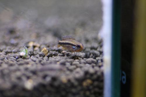 アピストグラマ メンデジィ リオアイワナWF1 東海 岐阜 熱帯魚 水草 観葉植物販売 Grow aquarium